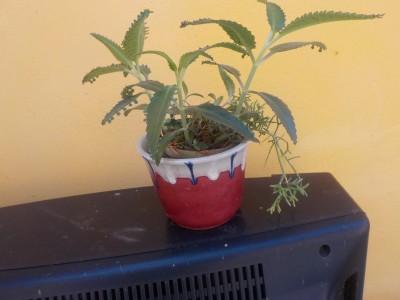 Náduť madagaskarská (Bryophyllum daigremontianum)