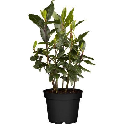vavřín nobilis,bobkový list